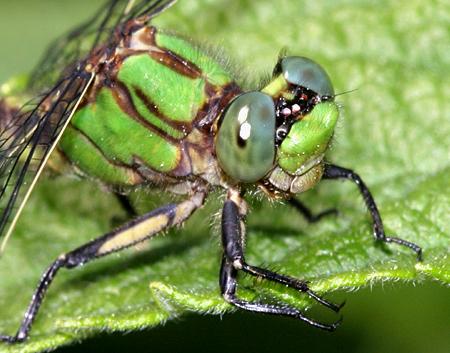 Brook Snaketail - Ophiogomphus aspersus - male