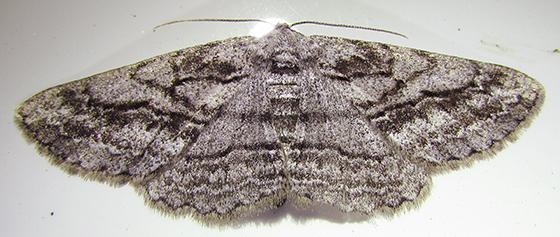 Moth - Stenoporpia excelsaria - female