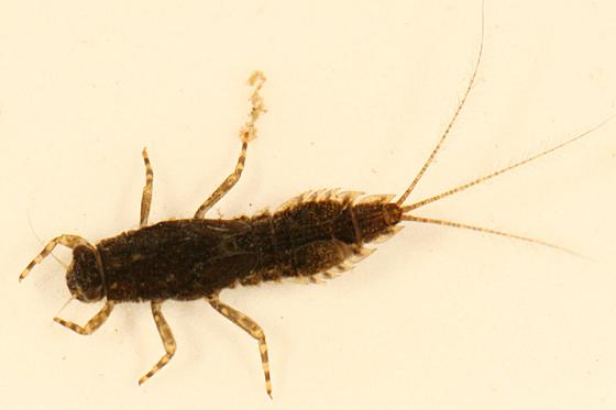 Mayfly Larva - Eurylophella prudentalis