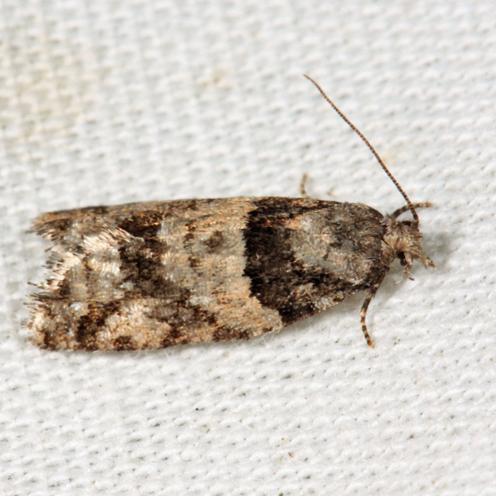 Red-striped Needleworm Moth - Epinotia radicana
