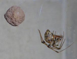 Spider and babies - Parasteatoda tepidariorum