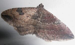 Bilateral Gynandromorph - Orthonama obstipata - male - female