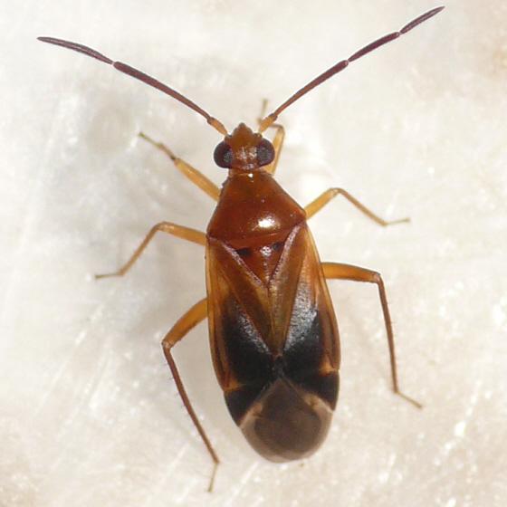 Ceratocapsus - Ceratocapsus modestus