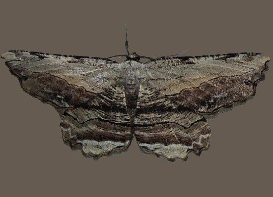 Common Lytrosis - Lytrosis unitaria