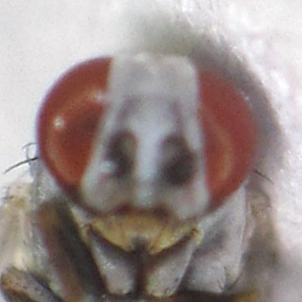Two Stripes - Leucopis