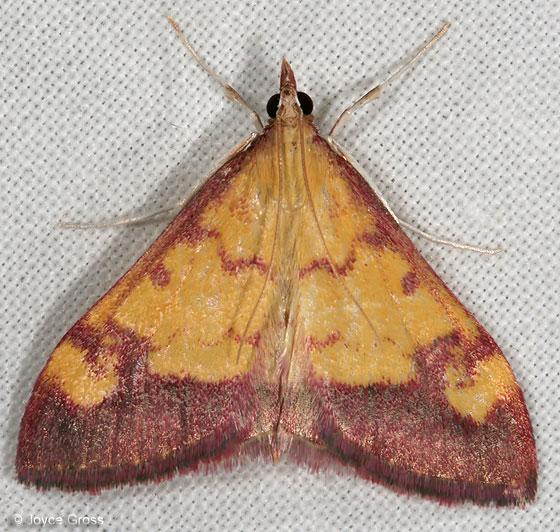 moth - Pyrausta perrubralis