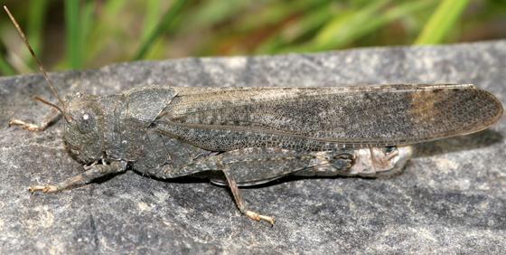 grasshopper - Dissosteira carolina - male