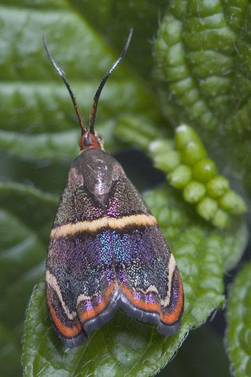 Hemerophila Moth - Hemerophila diva