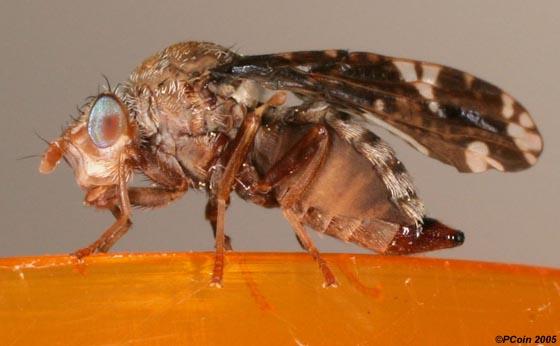 Goldenrod Gall Fly - Eurosta solidaginis - female