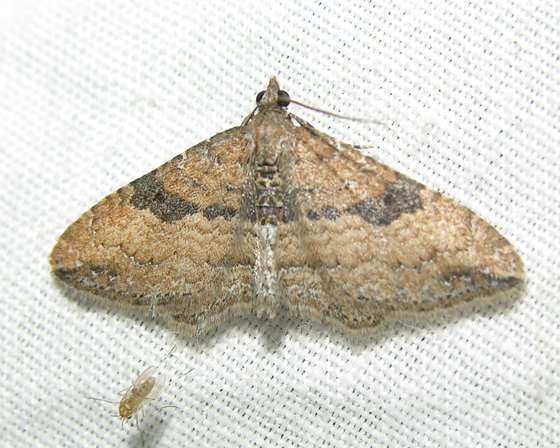 Unknown moth 4 - Orthonama obstipata