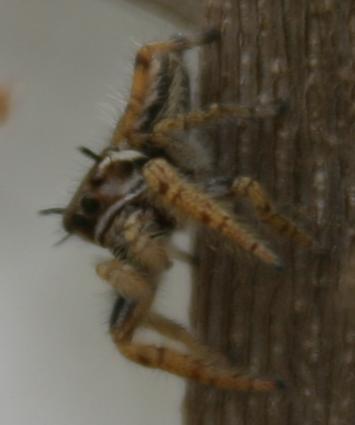 salticid in the thornscrub, rearing up - Phidippus arizonensis