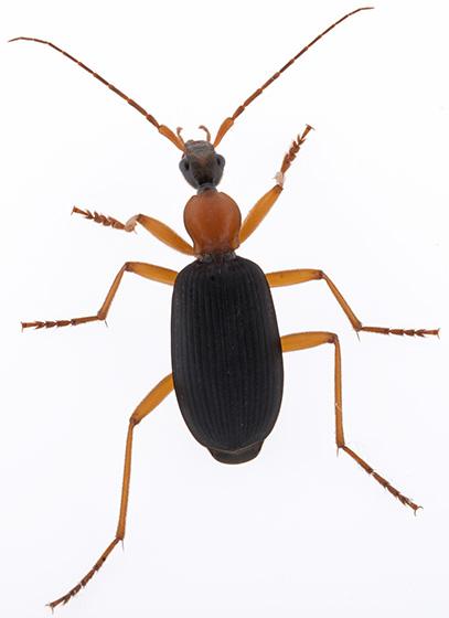 ID help - Galerita bicolor