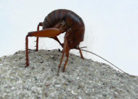 Rhaphidophoridae, Camel Cricket - Udeopsylla robusta - female