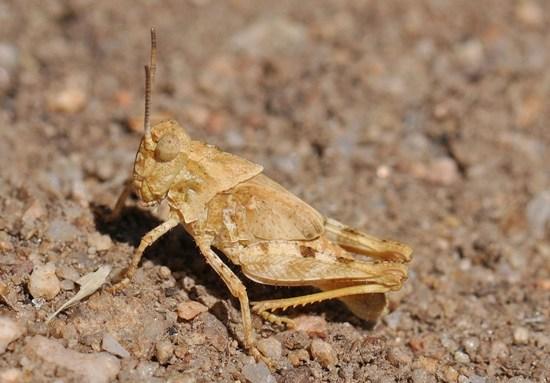 Ridged Grasshopper - Conozoa carinata - male