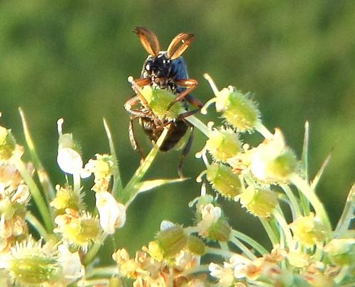Small Gnat-like Insect - Ripiphorus - male