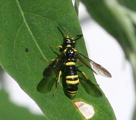 Wasp (or Sawfly) ID Request - Allantus viennensis