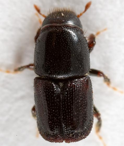 bark beetle - Scolytus