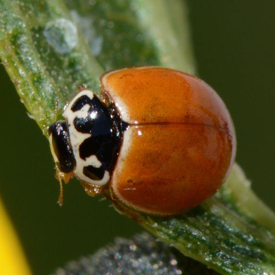 Lady Beetle on Sunflower - Cycloneda munda