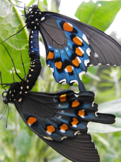Pipevine Swallowtails - Battus philenor - male - female