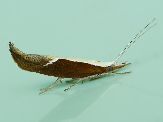 Honeysuckle Moth - Ypsolopha dentella