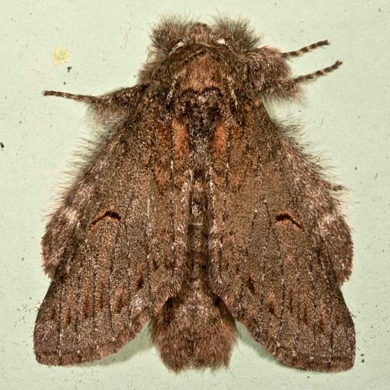Moth - Heterocampa lunata