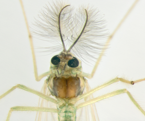 Chironomidae, ventral - Chironomus - male