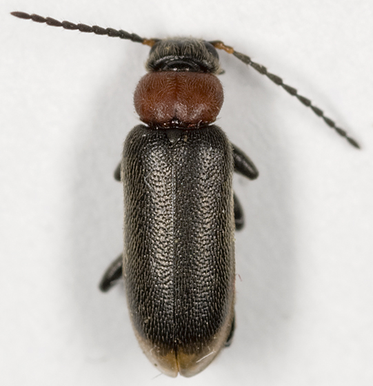 Fire-colored Beetle - Pedilus canaliculatus