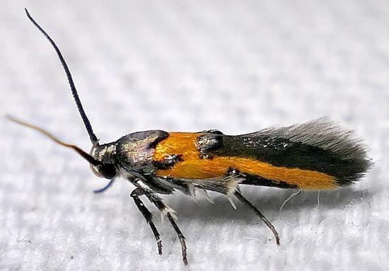 moth - Euclemensia bassettella