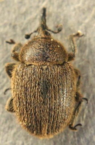 Gymnetron tetrum - Rhinusa tetra
