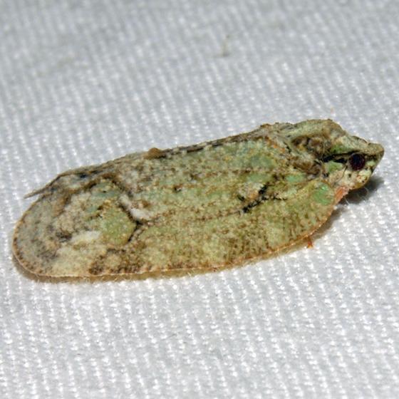 Flat Bug - Flataloides scabrosus