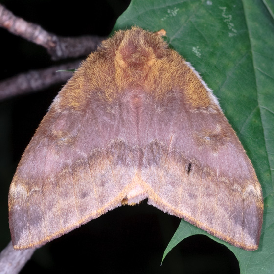 Large Moth - Automeris io