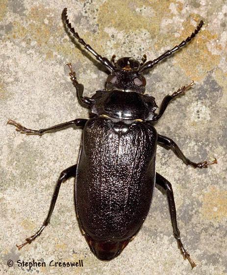 Attack of the Giant Cerambycids - Prionus laticollis - female