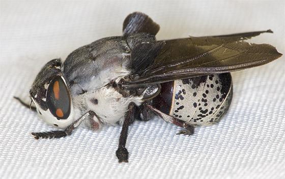 Insect - Cuterebra buccata