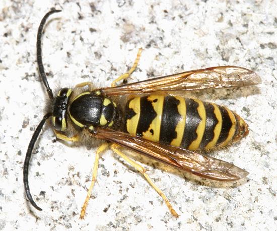 Yellowjacket - Vespula flavopilosa - male