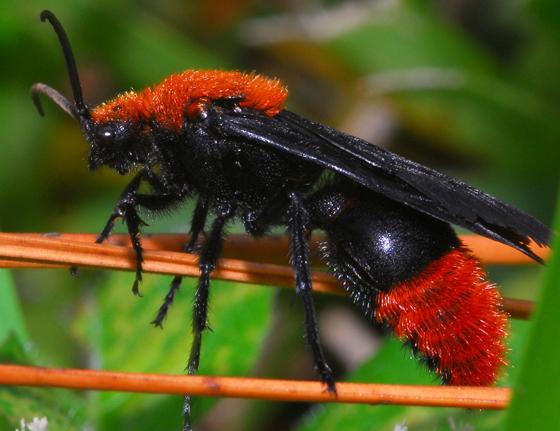 wasp mimic??? - Dasymutilla occidentalis