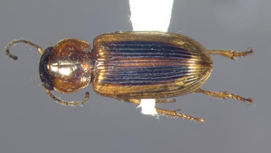 Carabidae, Seedcorn beetle, dorsal - Stenolophus comma