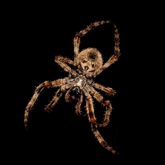 OMG! - Araneus andrewsi - female