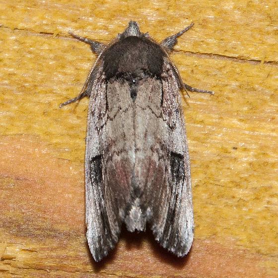 Moth-140707-01 - Schizura badia