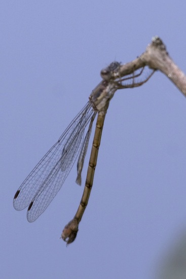 Sweetflag Spreadwing - Lestes forcipatus - female