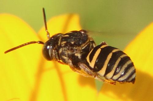 Unknown bee - Triepeolus - male