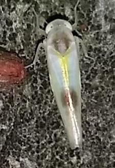 Suborder Auchenorrhyncha - Alebra wahlbergi
