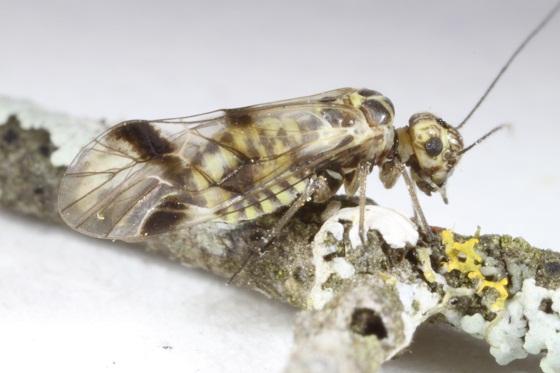 Blaste posticata - female
