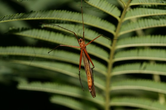 Bittacus texanus - male