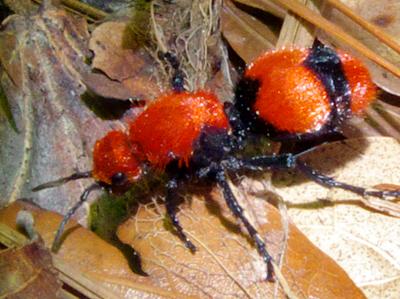 Cow Killer Ant - Dasymutilla occidentalis - female