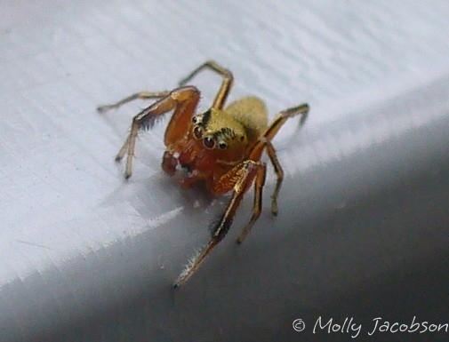 small yellow jumping spider - Tutelina elegans - male