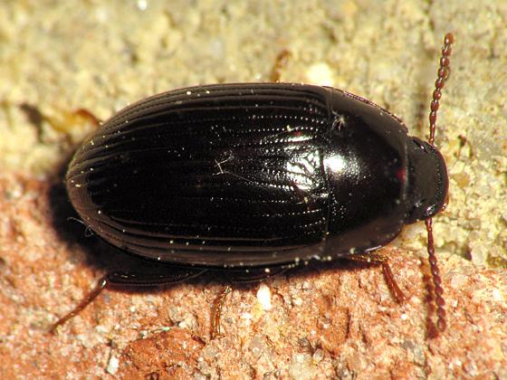 Small Dark Beetle - Platydema americanum