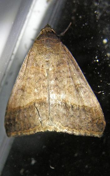 Yellow Mocis Moth - Mocis disseverans