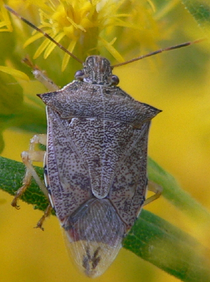 Spined Soldier Bug - Podisus maculiventris
