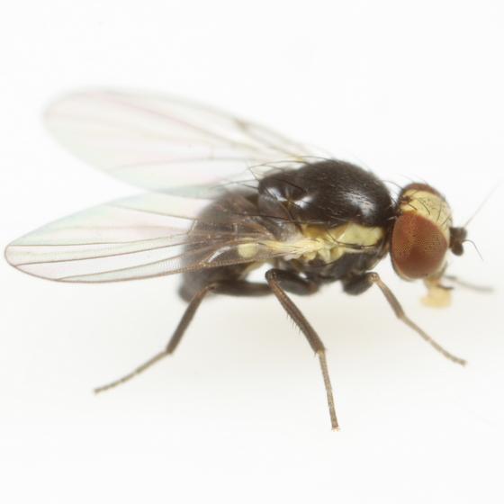 Calycomyza avira - female