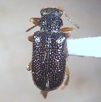 Zeugophora atra